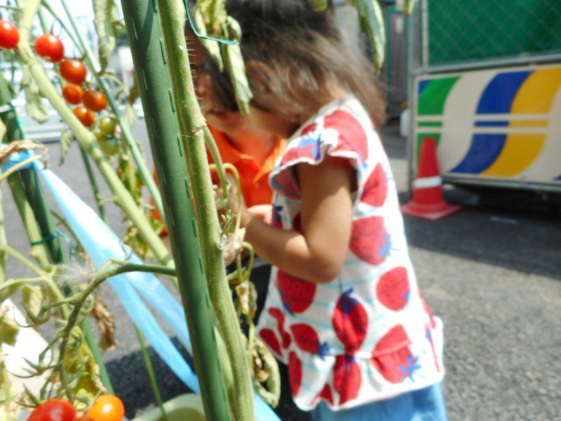 2歳児さんが育てたトマトがたくさんなりました。