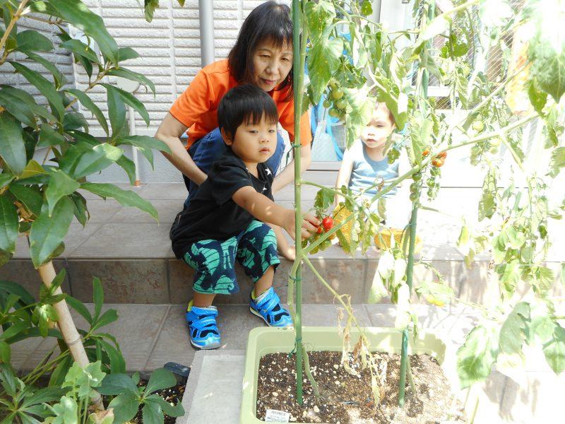 毎日、順番に赤くなったトマトの収穫をしています