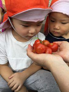 ★トマトを収穫しました★